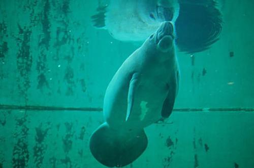 海洋博公園「マナティー館」は癒やし空間。エサを食べる表情かわいい