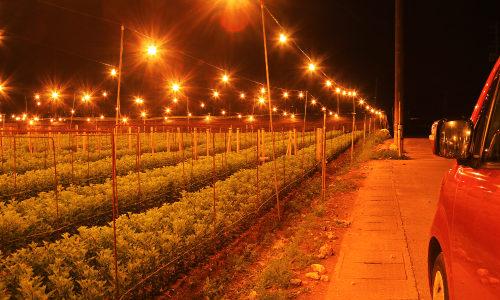 「電照菊」沖縄の寒い夜はイルミネーション畑!光に集まれ!